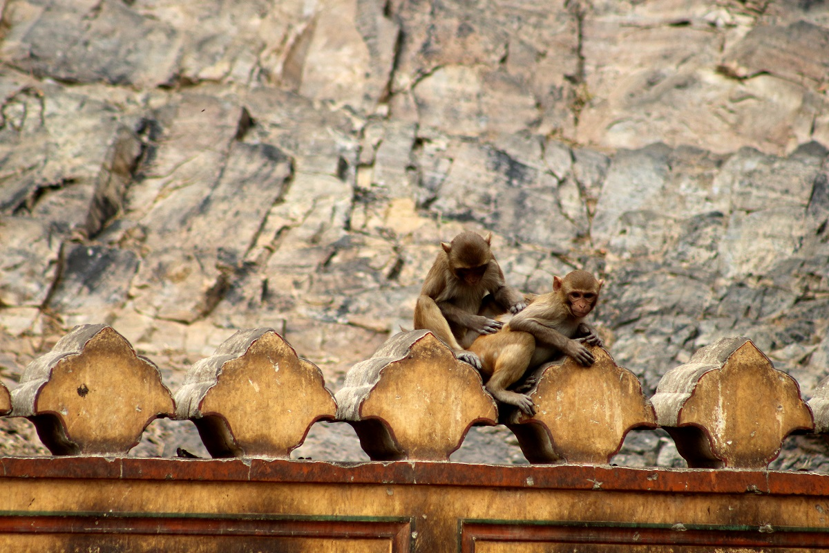 monkey temple jaipur | pure photography copyright